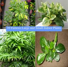 10 popular large and small indoor plants tall house plants can