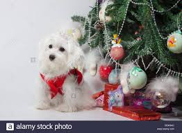 maltese puppy sitting by the tree and presents waiting
