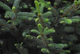 plants native to colorado fat albert colorado blue spruce monrovia fat albert colorado