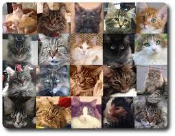 Cat Photo Album The Maine Coon Blog
