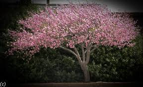Pink Spring Flowering Shrubs - flowering trees in texas an overview u2013 lee ann torrans gardening