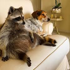 Meme Generator Raccoon - raccoon dog blank template imgflip