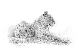 lion johan hoekstra wildlife art prints