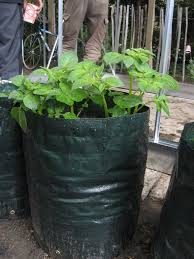 Patio Potato Planters Best 25 Growing Potatoes In Bags Ideas On Pinterest Diy Grow