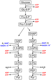 what pathway does cellular respiration begin with study com