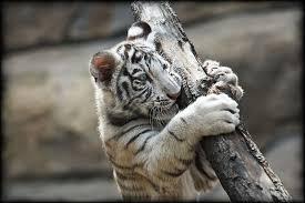 picture 2 of 9 white tiger panthera tigris tigris pictures