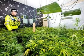 plant light for weed cannabis prohibition has gone to pot users of plant given green light