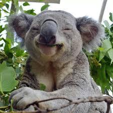 because i m happy koala my spirit animal pinterest