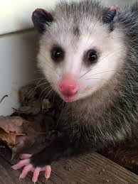 female opossums have a pouch the males do not they have 13