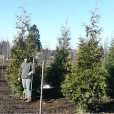 western cedar available in washington state