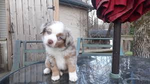 australian shepherd jacksonville cherry hill aussies australian shepherd breeder puppies sales