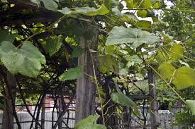 Growing Grapes Trellis Leaves Stems And Woody Branches Of A Grape Vine Growing On A
