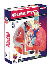 Human Anatomy Respiratory System 4d Human Anatomy Respiratory System Model 017186 Details