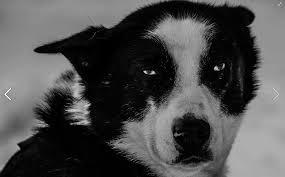 american eskimo dog cost in india history of sleddogs hetta huskies dog sledding finland