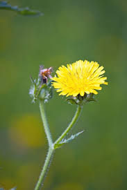 Dandelion Facts Dandelion Facts Interesting And Fun Facts About The Dandelion Flower