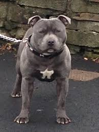 american pitbull terrier puppies for sale uk american staffordshire terrier for sale uk u2013 merry dog life photo blog