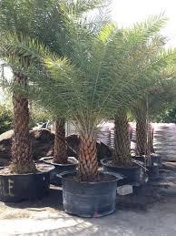 sylvester palm tree sale palm tree nursery davie fort lauderdale miramar garmizo s inc