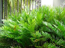 native plant seeds for sale florida native plant society blog coonties captivating cycads