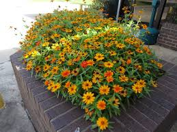 profusion and zahara zinnias u2013 ornamental plants of the week for