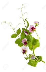 sweet pea flowers sweet pea flowers lathyrus odoratus stock photo picture and