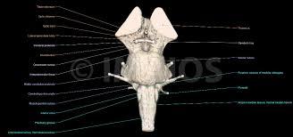 Brain Stem Anatomy Brain Atlas Of Human Anatomy With Mri