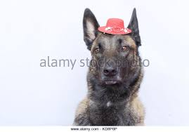 belgian shepherd ears a belgian malinois stock photos u0026 a belgian malinois stock images
