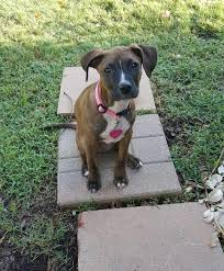 10 boxer dog facts 9 things you need to know before getting a pitbull boxer mix