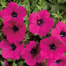 petunia flowers dekko purple syngenta flowers
