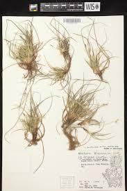 Sun Tan City La Crosse Wi Online Virtual Flora Of Wisconsin Carex Tonsa
