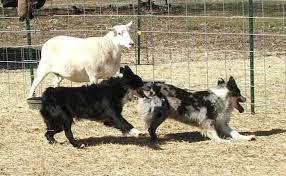 australian shepherd herding australian shepherd pictures and images