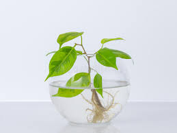 jar vase the plant with roots is in glass jar vase on a white background