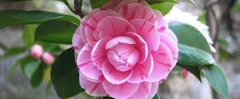 State Flower Of Montana - alabama state flower the camellia proflowers blog