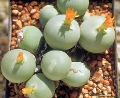 amazon succulents 62 best conophytum images on pinterest a small perennial and cactus