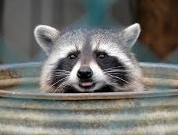raccoon control identifying raccoon damage abc humane wildlife