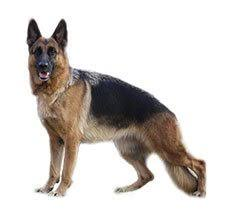 belgian shepherd vs doberman compare german shepherd dog alsatian vs labrador retriever