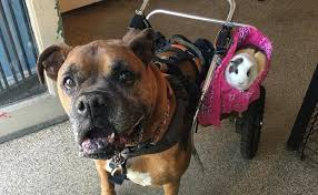 rescue a boxer dog the story of a brave rescue boxer rex and his sidekick guinea pig