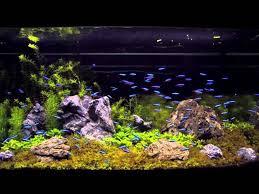 Aquascape Tank Watch 100 Cardinal Tetra In An Aquascaping Tank Youtube For