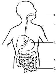 all grade worksheets the human digestive system worksheet all