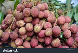 fruit similar to lychee lychee fruit on tree garden thailand stock photo 280825238