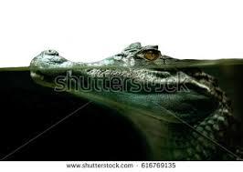Interior Crocodile Alligator Crocodile Tears Stock Images Royalty Free Images U0026 Vectors