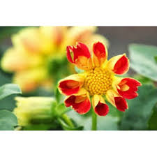 Flower Seeds Online - cosmos seeds for sale annual flower seeds seeds online garden seeds