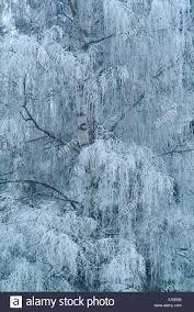 frosty tree branches varmland sweden stock photo royalty free