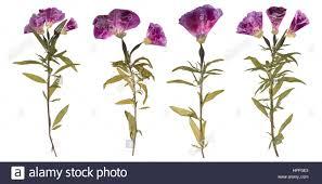 pressed flowers set of dried and pressed flowers herbarium of purple flowers