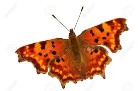 butterfly photo album comma butterfly polygonia c album in warm up position royalty