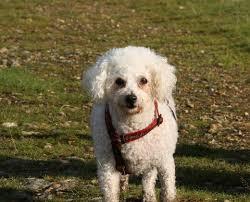 4 year old bichon frise puddy u2013 4 year old female bichon frise dog for adoption