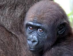 Gorilla by Our Gorillas Zoo Miami