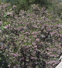 Flowering Privacy Shrubs - drought tolerant hedges wind breaks and screens with california