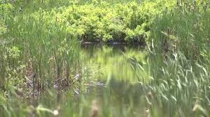 cape cod salt marshes to be restored necn