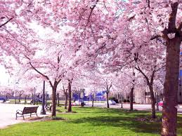 national tree of cherry blossom 123countries com