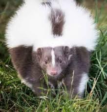 in pet skunks